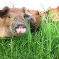 Élevage de porc en pâturage