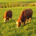 Des vaches se nourissant en fin de journée