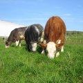 Des vaches heureuses